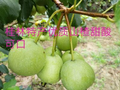 广西壮族自治区桂林市平乐县大果山楂 100克以上