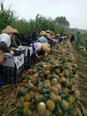 广东湛江徐闻菠萝 1.5 - 2斤