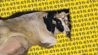 山东济南济阳县牛奶 1个月 冷藏存放