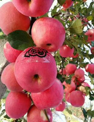 陕西咸阳红富士苹果 纸+膜袋 条红 75mm以上 陕西红富士10斤装,包邮