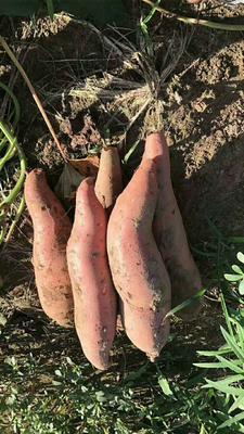 河北唐山滦南县密心薯 0.5-1斤