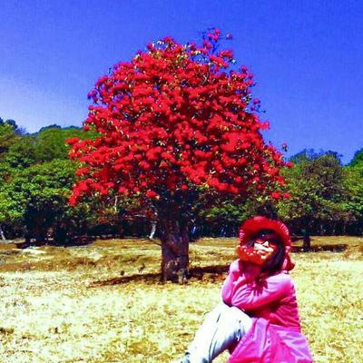 安徽安庆紫杜鹃 3~3.5米