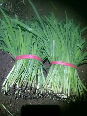 这是一张关于汉中冬韭 头茬 30~35cm的产品图片