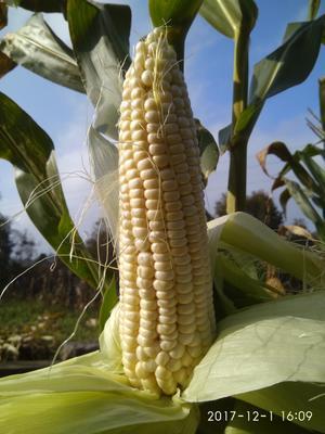 这是一张关于糯玉米 3% 鲜货的产品图片