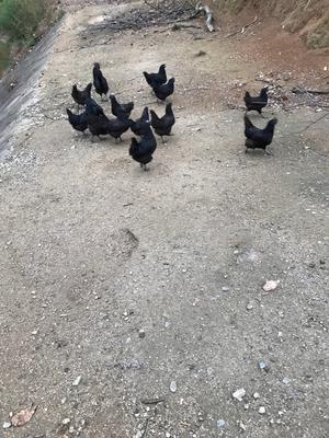 湖北黄冈余干乌黑鸡 2-3斤