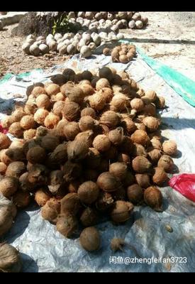海南文昌文昌老椰子 1 - 1.5斤