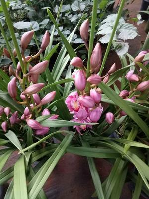 这是一张关于大花惠兰 带盆栽好的产品图片