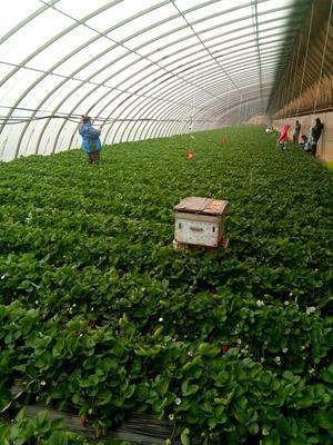 这是一张关于酸甜口的草莓 50克以上的产品图片