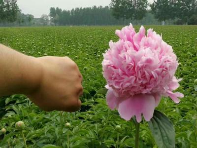 山东菏泽牡丹区多花芍药 12~14cm 0.5米以下