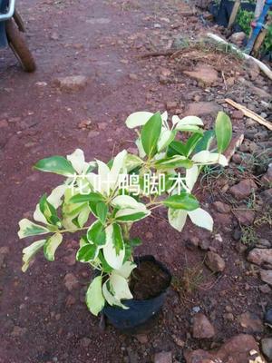 海南省海口市美兰区鸭脚木