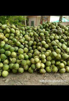 海南文昌文昌文昌椰子椰子苗 1 - 1.5斤