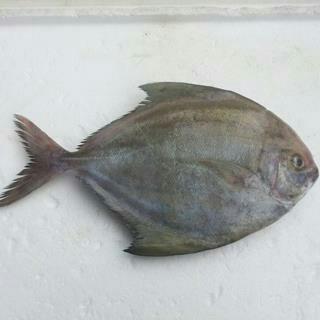 江苏盐城黑鲳 野生 0.5公斤以下