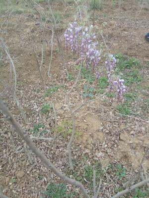 山东省泰安市岱岳区重瓣紫藤 0.5~1米 1公分以下