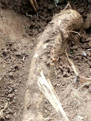 江苏省苏州市常熟市葛根干 散装 24个月以上