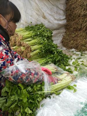 河北邯郸香芹 50~55cm 0.5斤以下