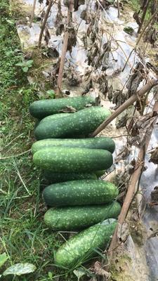 广西壮族自治区南宁市西乡塘区毛节瓜 2斤以上 硬毛
