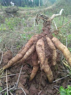 广西壮族自治区梧州市苍梧县可食白木薯