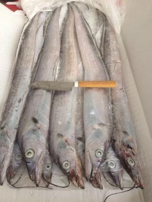 浙江台州东海带鱼 野生 0.5龙8国际官网官方网站以下