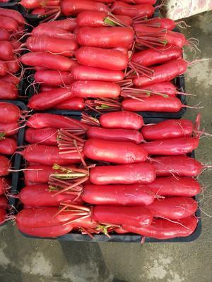 这是一张关于大红萝卜 0.2~1斤的产品图片