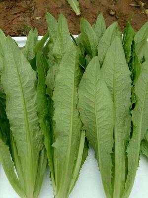 河北邯郸美冠油麦菜 30~35cm以上
