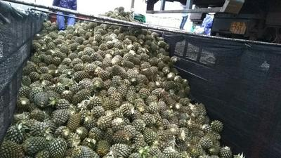 """广东湛江""""菲律宾""""(巴厘)菠萝 1 - 1.5斤"""