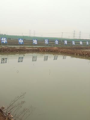 湖北武汉东西湖区台湾泥鳅苗