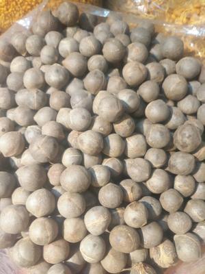 广东广州越秀区印度椰子王 1 - 1.5斤