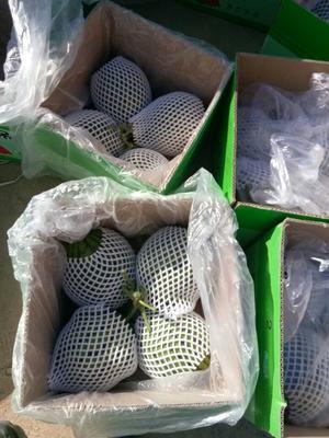 甘肃省武威市凉州区京欣西瓜 有籽 1茬 9成熟 4斤打底