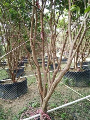 广东广州树葡萄果苗