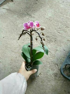 广东广州蝴蝶兰 含盆
