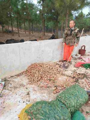 湖北荆门藏香猪 80斤以上