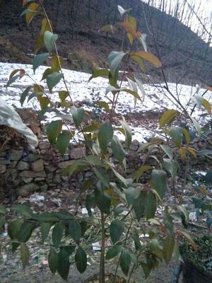 河南三门峡高山杜鹃 1~1.5米