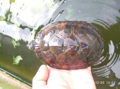 广东肇庆高要市火焰龟 10-20cm 0.5-1斤