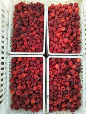 黑龙江省哈尔滨市双城市红树莓 冻果