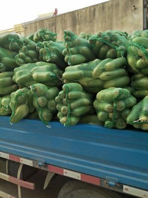 安徽省阜阳市太和县青皮萝卜 1~1.5斤