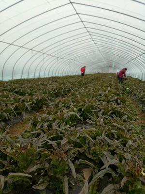这是一张关于红叶莴笋 28~40cm 1.5~2.0斤的产品图片