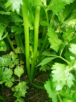 山东省济南市济阳县加州王芹菜 60cm以上 0.5~1.0斤