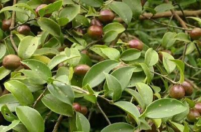 福建福州茶叶籽油