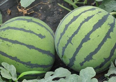 河南商丘8424西瓜 无籽 1茬 7成熟 6斤打底