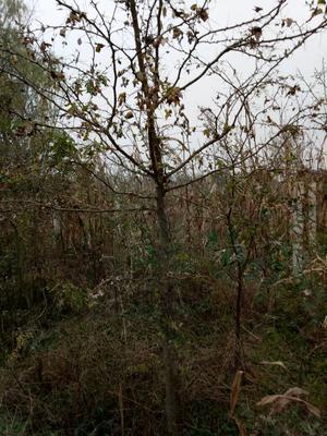 陕西宝鸡皂角树