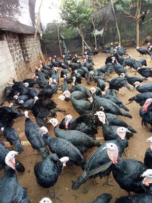 这是一张关于黑火鸡 5-10斤的产品图片