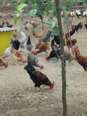 这是一张关于草鸡 公 2-3斤的产品图片