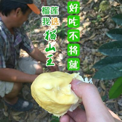 广西崇左猫山王榴莲 90%以上 2龙8国际官网官方网站以下
