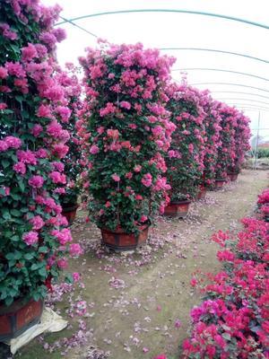 福建漳州龙海市紫花三角梅 2.5米~3米
