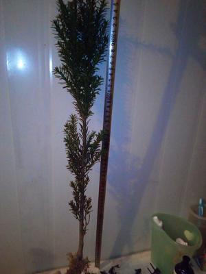 河南焦作曼地亚红豆杉 0.5米以下