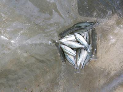 四川眉山东坡区加州鲈鱼 人工养殖 0.5公斤以下