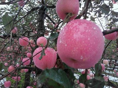 烟富10苹果苗 1~1.5米