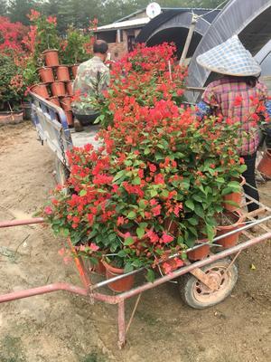 福建漳州龙海市同安红三角梅 0.5~1.0米