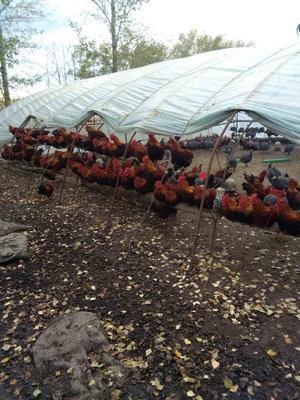 黑龙江黑河银斑珍珠鸡 2-4斤
