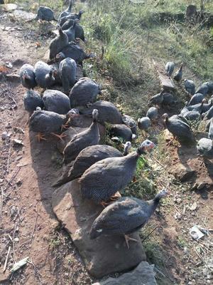 这是一张关于灰色珍珠鸡 2-4斤的产品图片